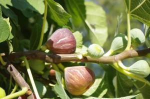 Figues rôties au Roquefort : un accompagnement simple et efficace