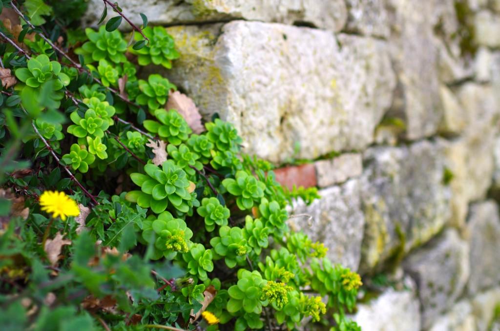 vieille pierre et plante grasse