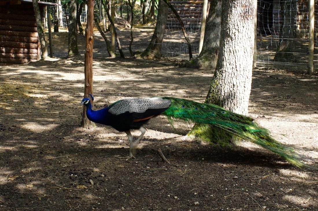 grand gîte - paon parc animalier Le Burgaud